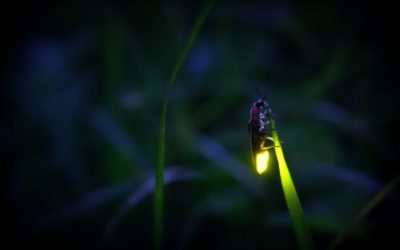 Researcher Finds Better Energy Efficiency With LEDs Inspired By Fireflies